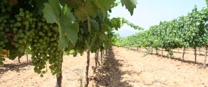 Curs gratuït de viticultura ecològica