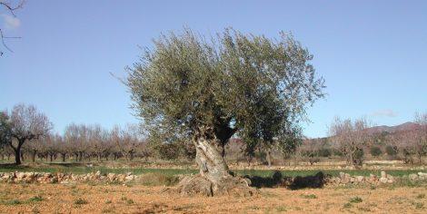 Olivera de Benlloch