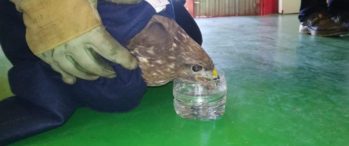 Rescaten una àguila ferida a Benlloc