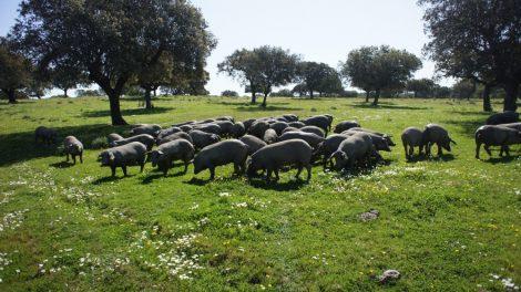 Curs d'introducció de cria de porc a camp